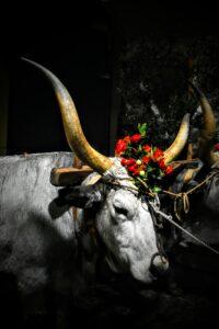 Festa di Sant'Antonio Abate a Trivigno - Buoi - Foto Giuseppe Giansanti