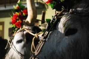 Festa di Sant'Antonio Abate a Trivigno - Buoi - Foto Luca Laguardia
