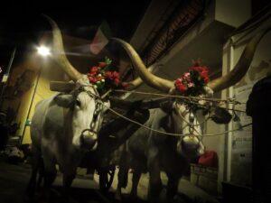 Festa di Sant'Antonio Abate a Trivigno - Buoi - Foto Maddalena Lisanti