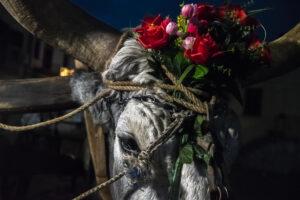 Festa di Sant'Antonio Abate a Trivigno - Buoi - Foto Roberto Scordino